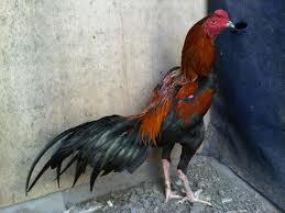 peluang usaha ternak ayam bangkok
