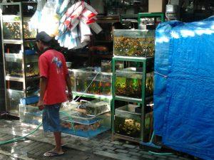 peluang usaha ternak ikan hias