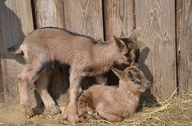 peluang usaha ternak kambing