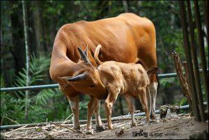 Peluang usaha ternak sapi
