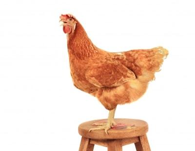 Cara Memelihar ayam petelur