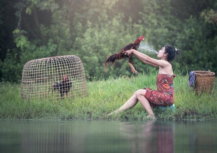 teknik cara merawat ayam bangkok