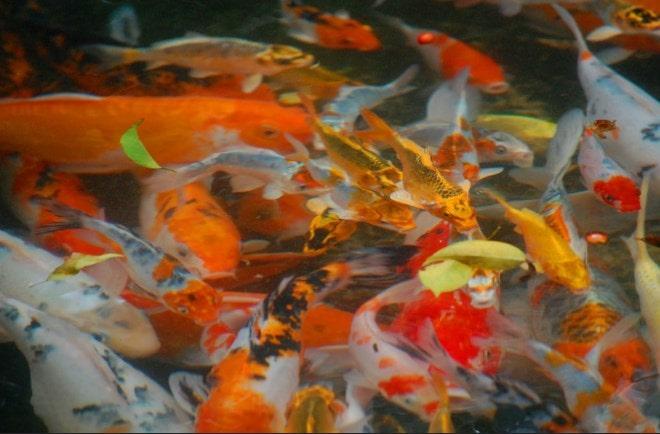 cara memelihara ikan koi yang benar agar tidak mati