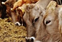 cara beternak sapi bagi pemula